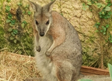 Macropus eugenii